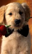 Download free mobile wallpaper 3555: Animals, Dogs, Roses, Postcards for phone or tab. Download images, backgrounds and wallpapers for mobile phone for free.