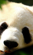 Download free mobile wallpaper 44385: Pandas,Animals for phone or tab. Download images, backgrounds and wallpapers for mobile phone for free.