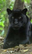 Download free mobile wallpaper 30964: Panthers,Animals for phone or tab. Download images, backgrounds and wallpapers for mobile phone for free.