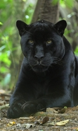 Download free mobile wallpaper 32795: Panthers,Animals for phone or tab. Download images, backgrounds and wallpapers for mobile phone for free.