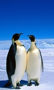 Download free mobile wallpaper 49295: Landscape,Pinguins,Animals for phone or tab. Download images, backgrounds and wallpapers for mobile phone for free.
