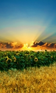 Download free mobile wallpaper 29673: Landscape,Sunflowers,Fields,Sunset for phone or tab. Download images, backgrounds and wallpapers for mobile phone for free.