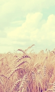 Download free mobile wallpaper 46332: Landscape,Fields,Nature,Wheat for phone or tab. Download images, backgrounds and wallpapers for mobile phone for free.