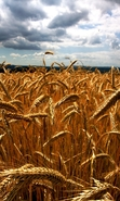 Download free mobile wallpaper 48213: Landscape,Fields,Wheat for phone or tab. Download images, backgrounds and wallpapers for mobile phone for free.