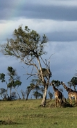 Download free mobile wallpaper 46102: Landscape,Nature,Giraffes,Animals for phone or tab. Download images, backgrounds and wallpapers for mobile phone for free.