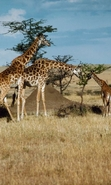 Download free mobile wallpaper 46220: Landscape,Giraffes,Animals for phone or tab. Download images, backgrounds and wallpapers for mobile phone for free.