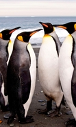 Download free mobile wallpaper 48051: Pinguins,Birds,Animals for phone or tab. Download images, backgrounds and wallpapers for mobile phone for free.