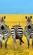 Download free mobile wallpaper 44398: Fields,Zebra,Animals for phone or tab. Download images, backgrounds and wallpapers for mobile phone for free.