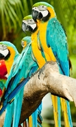 Download free mobile wallpaper 38911: Parrots,Birds,Animals for phone or tab. Download images, backgrounds and wallpapers for mobile phone for free.