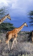 Download free mobile wallpaper 45984: Nature,Giraffes,Animals for phone or tab. Download images, backgrounds and wallpapers for mobile phone for free.
