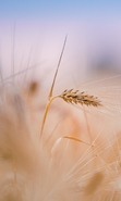 Download free mobile wallpaper 40668: Wheat,Plants for phone or tab. Download images, backgrounds and wallpapers for mobile phone for free.