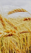 Download free mobile wallpaper 49744: Wheat,Plants for phone or tab. Download images, backgrounds and wallpapers for mobile phone for free.