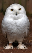 Download free mobile wallpaper 34121: Birds,Owl,Animals for phone or tab. Download images, backgrounds and wallpapers for mobile phone for free.