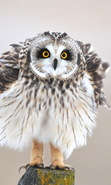 Download free mobile wallpaper 40295: Birds,Owl,Animals for phone or tab. Download images, backgrounds and wallpapers for mobile phone for free.