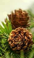 Download free mobile wallpaper 36699: Plants,Cones for phone or tab. Download images, backgrounds and wallpapers for mobile phone for free.