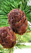 Download free mobile wallpaper 36894: Plants,Cones for phone or tab. Download images, backgrounds and wallpapers for mobile phone for free.