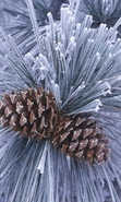 Download free mobile wallpaper 32127: Plants,Cones,Pine for phone or tab. Download images, backgrounds and wallpapers for mobile phone for free.
