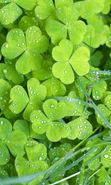 Download free mobile wallpaper 234: Plants, Shamrock for phone or tab. Download images, backgrounds and wallpapers for mobile phone for free.