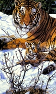 Download free mobile wallpaper 37392: Pictures,Tigers,Animals for phone or tab. Download images, backgrounds and wallpapers for mobile phone for free.