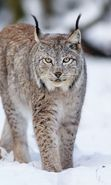 Download free mobile wallpaper 19459: Bobcats, Snow, Animals, Winter for phone or tab. Download images, backgrounds and wallpapers for mobile phone for free.