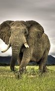 Download free mobile wallpaper 43598: Elephants,Animals for phone or tab. Download images, backgrounds and wallpapers for mobile phone for free.