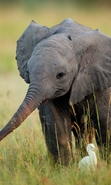 Download free mobile wallpaper 45111: Elephants,Animals for phone or tab. Download images, backgrounds and wallpapers for mobile phone for free.