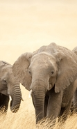 Download free mobile wallpaper 46760: Elephants,Animals for phone or tab. Download images, backgrounds and wallpapers for mobile phone for free.