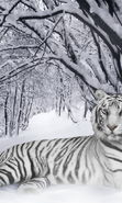Download free mobile wallpaper 13741: Snow, Tigers, Animals, Winter for phone or tab. Download images, backgrounds and wallpapers for mobile phone for free.
