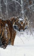 Download free mobile wallpaper 25454: Snow, Tigers, Animals, Winter for phone or tab. Download images, backgrounds and wallpapers for mobile phone for free.