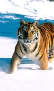 Download free mobile wallpaper 4315: Animals, Winter, Tigers, Snow for phone or tab. Download images, backgrounds and wallpapers for mobile phone for free.
