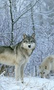 Download free mobile wallpaper 1040: Animals, Wolfs, Winter, Snow for phone or tab. Download images, backgrounds and wallpapers for mobile phone for free.