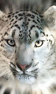 Download free mobile wallpaper 10428: Animals, Snow leopard for phone or tab. Download images, backgrounds and wallpapers for mobile phone for free.