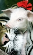 Download free mobile wallpaper 44776: Pigs,Tigers,Animals for phone or tab. Download images, backgrounds and wallpapers for mobile phone for free.