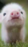 Download free mobile wallpaper 46856: Pigs,Animals for phone or tab. Download images, backgrounds and wallpapers for mobile phone for free.