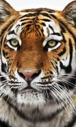Download free mobile wallpaper 11724: Animals, Tigers for phone or tab. Download images, backgrounds and wallpapers for mobile phone for free.