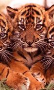 Download free mobile wallpaper 14272: Tigers, Animals for phone or tab. Download images, backgrounds and wallpapers for mobile phone for free.