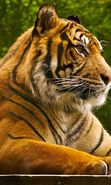 Download free mobile wallpaper 1638: Animals, Tigers for phone or tab. Download images, backgrounds and wallpapers for mobile phone for free.