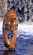 Download free mobile wallpaper 20299: Tigers, Animals for phone or tab. Download images, backgrounds and wallpapers for mobile phone for free.