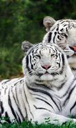 Download free mobile wallpaper 2285: Animals, Tigers for phone or tab. Download images, backgrounds and wallpapers for mobile phone for free.