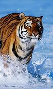 Download free mobile wallpaper 22968: Tigers, Animals for phone or tab. Download images, backgrounds and wallpapers for mobile phone for free.