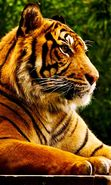 Download free mobile wallpaper 24572: Tigers, Animals for phone or tab. Download images, backgrounds and wallpapers for mobile phone for free.
