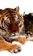 Download free mobile wallpaper 27800: Tigers, Animals for phone or tab. Download images, backgrounds and wallpapers for mobile phone for free.