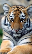 Download free mobile wallpaper 29727: Tigers,Animals for phone or tab. Download images, backgrounds and wallpapers for mobile phone for free.