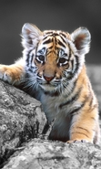 Download free mobile wallpaper 30333: Tigers,Animals for phone or tab. Download images, backgrounds and wallpapers for mobile phone for free.