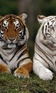 Download free mobile wallpaper 329: Animals, Tigers for phone or tab. Download images, backgrounds and wallpapers for mobile phone for free.