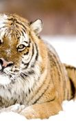 Download free mobile wallpaper 3471: Animals, Tigers for phone or tab. Download images, backgrounds and wallpapers for mobile phone for free.