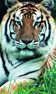 Download free mobile wallpaper 36270: Tigers,Animals for phone or tab. Download images, backgrounds and wallpapers for mobile phone for free.