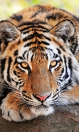 Download free mobile wallpaper 38575: Tigers,Animals for phone or tab. Download images, backgrounds and wallpapers for mobile phone for free.
