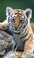 Download free mobile wallpaper 40509: Tigers,Animals for phone or tab. Download images, backgrounds and wallpapers for mobile phone for free.