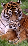 Download free mobile wallpaper 40689: Tigers,Animals for phone or tab. Download images, backgrounds and wallpapers for mobile phone for free.